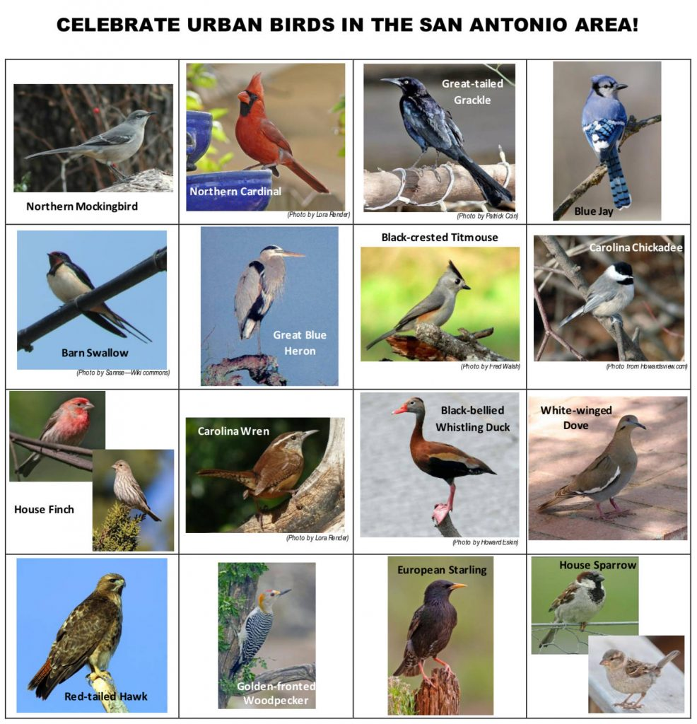 Urban Birds List
